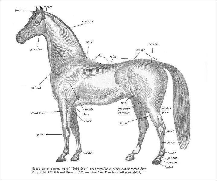 Où se trouve l'avant-main sur le cheval ?
