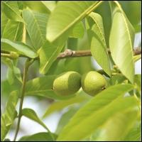 Arbre originaire d'Asie, dont les fruits sont utilisés dans les délices culinaires locaux, et dont les feuilles servent à guérir les maladies de la peau, cet arbre est :