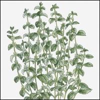 Plante médicinale qui possède des vertus magiques pour la santé, notamment contre la toux, les poisons et les problèmes digestifs, cette plante est :