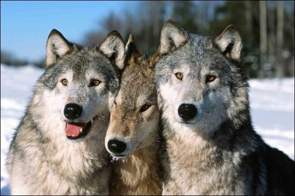 Comment est composée une meute de loups ?