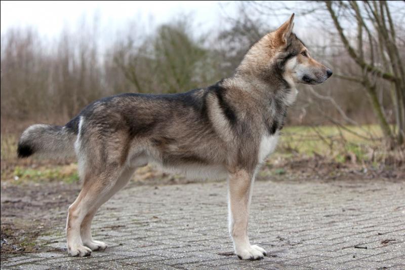 Avec quel loup un berger allemand a-t-il été croisé pour donner un chien-loup tchécoslovaque ?