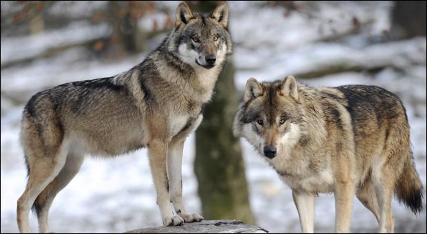 Dans une meute de loups, combien y a-t-il d'individus environ ?