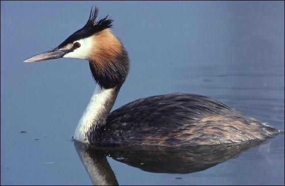 Quizz une balade au bord d 39 un lac quiz oiseaux for Oiseau noir et gris