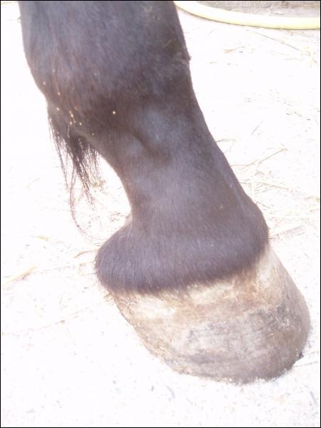 Comment s'appellent les jambes du cheval ?