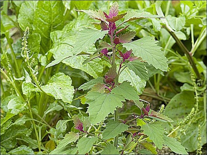 Cette plante est ornementale et comestible. N'hésitez pas à la cuisiner comme le précédent légume, d'ailleurs est-il de la même famille ?