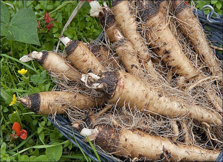 Jolies racines que l'on peut assaisonner de ciboulette et transformer en savoureux beignets.Quelles sont-elles ?