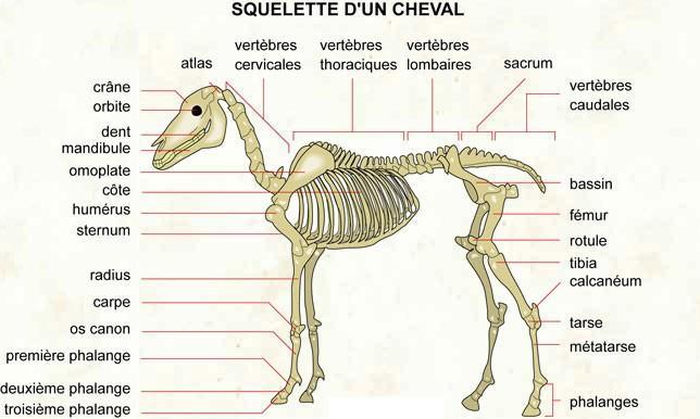 Squelette du cheval (galop 5)