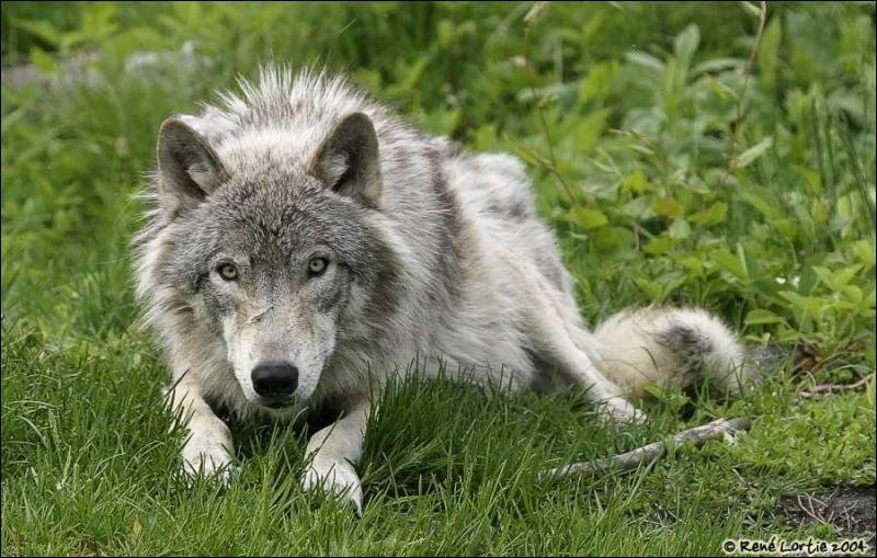 Comment se nomme l'ancêtre du loup ?