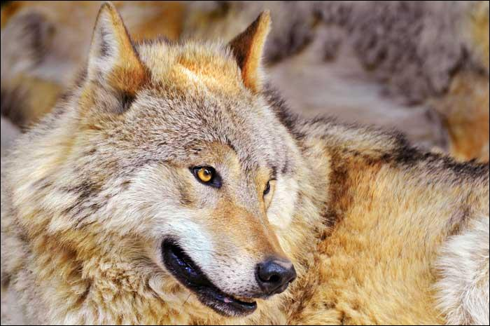De quelle couleur est ce loup ?