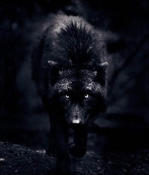 Quel est le nom des loups noirs ?