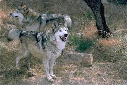 Quelle espèce de loup a disparu aujourd'hui à cause des loups gris ?