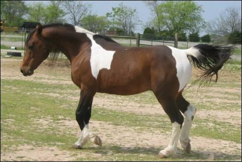 Et ce cheval à la queue noire ?