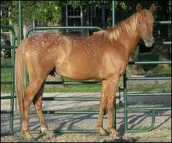 On aperçoit de minuscules petites taches sur la croupe de ce cheval, elles sont blanches. Ce cheval est de robe...