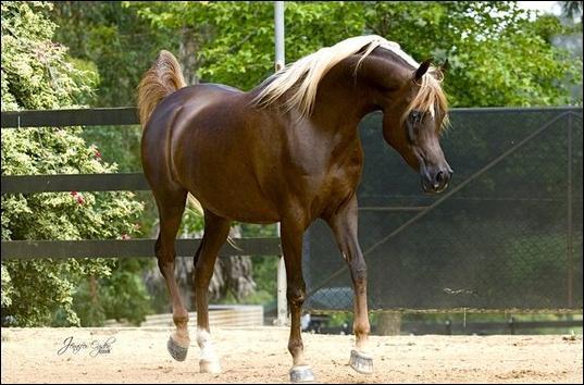 Ce cheval est marron foncé avec les crins clairs. Il est de robe :