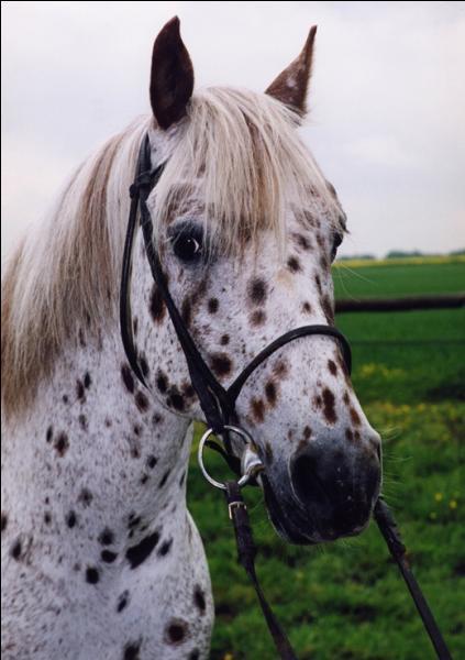 La robe de ce cheval possède des petites taches plus ou moins rondes. On appelle cela une robe (le terme exacte ^^) :