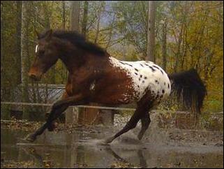 Ce cheval a la crinière noire et des poils marron, possède une grande cape blanche sur les fesses elles-mêmes recouverte de petites taches de la couleur de base. Comment appelle-t-on cette robe ?