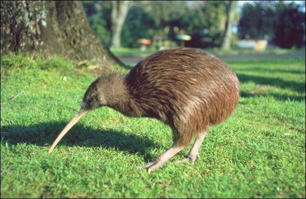 Oiseau nocturne des forêts denses de Nouvelle-Zélande, je ne peux pas voler. Je me nourris d'insectes, de larves, de vers que je trouve en fouillant dans le sol avec mon long bec. Je suis...