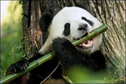 Mon épais pelage noir et blanc me protège du froid des forêts de montagnes de Chine. Je mastique une grosse quantité de tiges de bambou. Qui suis-je ?