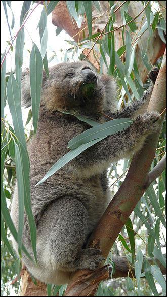 Dans mon pays, l'Australie, je me nourris exclusivement de feuilles d'eucalyptus. Qui suis-je ?