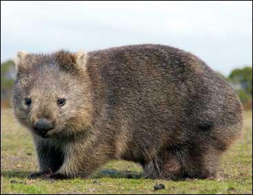 En Australie, je creuse mes terriers avec mes pattes et mes grosses griffes. Je cherche ma nourriture, des herbes, des racines et de la mousse, le soir et je dors la journée. Qui suis-je ?