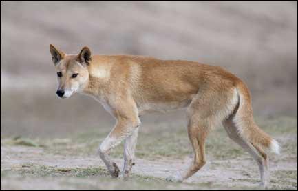 On dit que je suis un chien sauvage d'Australie. Je n'aboie pas et j'éternue pour me défendre. Quel est mon nom ?