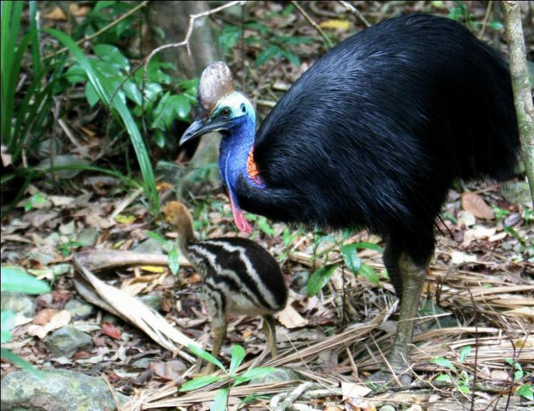 Moi aussi, je vis en Australie. Je suis un oiseau qui ne vole pas. Je me nourris de fruits. Qui suis-je ?