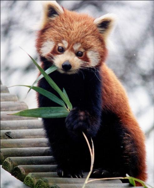 Je vis dans les forêts épaisses de Chine et de Birmanie. Je suis végétarien. Ma nourriture principale est le bambou mais je peux manger des fruits, des racines, des glands. Qui suis-je ?