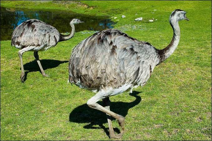 Je suis un oiseau coureur omnivore. Ma nourriture est composée d'herbe, de fruits, de vers, de larves, de petits lézards. Quel animal originaire d'Australie suis-je ?