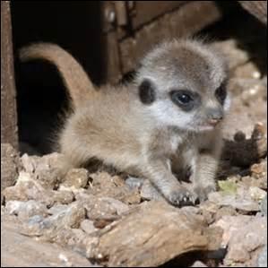 quizz le suricate quiz animaux