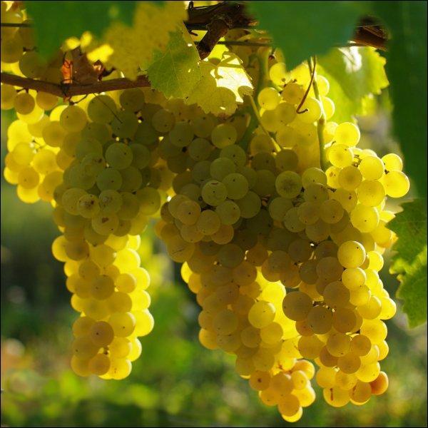Voici le fruit de la vigne. Quelle lettre ne se trouve pas dans son nom ?