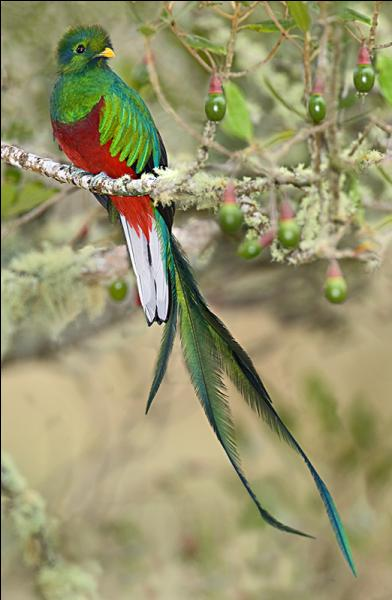 Q - Le quetzal vit en Afrique du Sud.