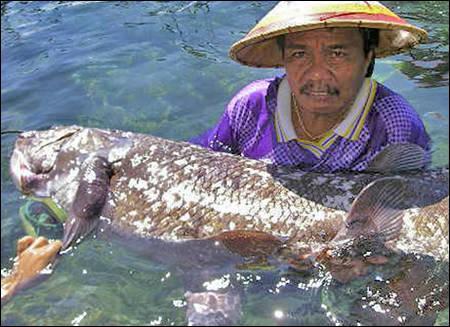 Les pêcheurs comoriens, eux, connaissent la bestiole depuis toujours. Ils utilisaient même les larges écailles de ce grand poisson pour :