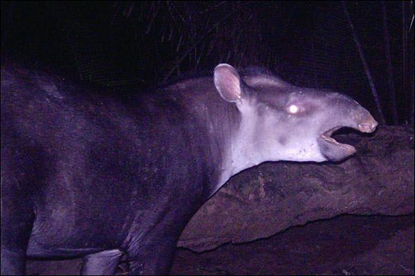 Le tapirus kabomani est une espèce de tapir découvert en Amazonie et le dernier grand mammifère terrestre découvert. Même si les indigènes connaissaient depuis toujours celui qu'ils appellent «le petit tapir noir», l'espèce ne fut identifiée qu'en :