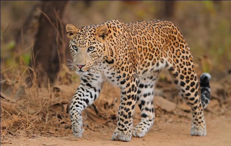 Qui peut bien adjoindre le nom du léopard à son propre nom ?