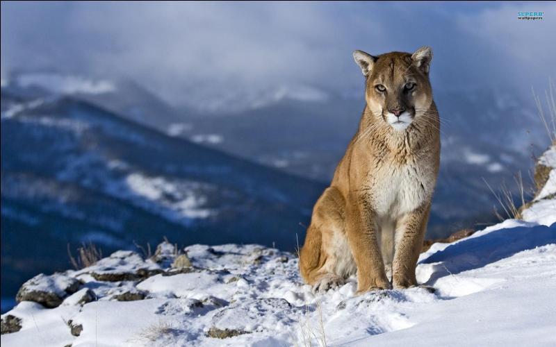Enfin à quoi le cougar n'a-t-il pas donné son nom ?