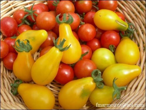 Adorables, les petites tomates de couleur orangée, que sont-elles ?