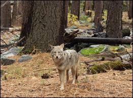Loup, renard ou coyote ?