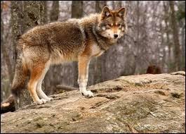 Renard, loup ou coyote ?