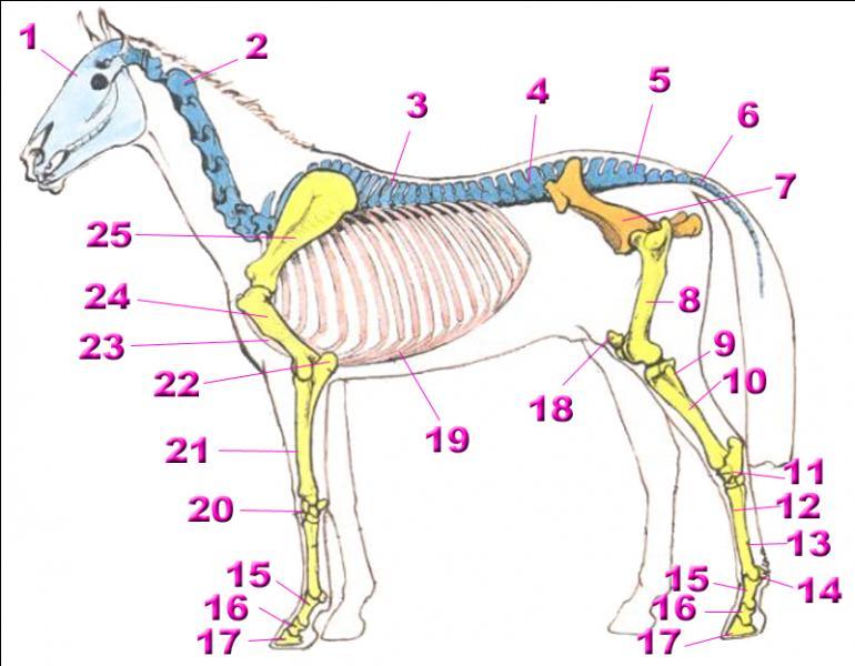 quizz galop 5 squelette et muscles quiz chevaux anatomie. Black Bedroom Furniture Sets. Home Design Ideas
