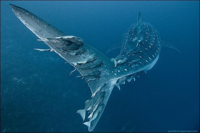 Vous avez presque fini, à présent je vous présente le plus gros poisson du monde !