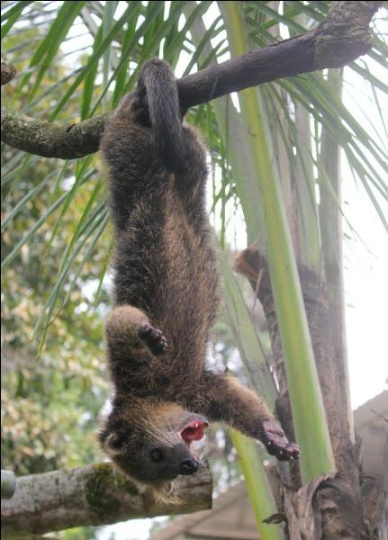 C'est un petit carnivore asiatique, avec une particularité, sa queue est préhensile, comme vous pouvez le voir sur la photo, on l'appelle également chat-ours !