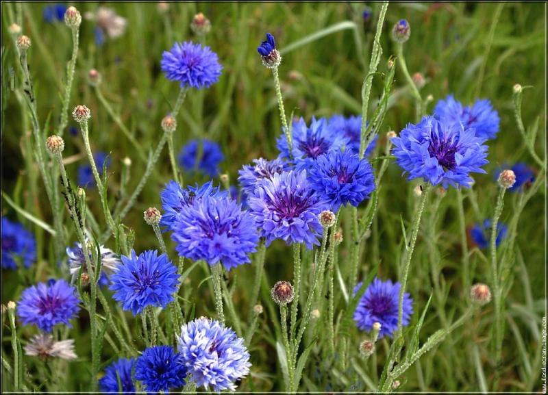 Ces fleurs voisinent souvent avec les marguerites et les coquelicots dans les champs de blé :