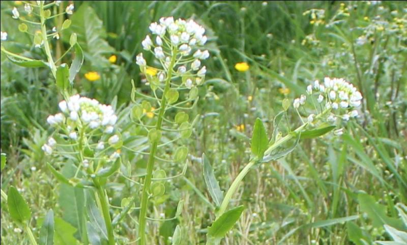 Et voici la dernière fleur du quiz, qui vous sera bien agréable, si vous la rencontrez, pour vous reposer de cette jolie balade dans les prés :