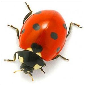 """Quelle est la première lettre de cet insecte ayant pour surnom """"bête du bon dieu"""" ?"""