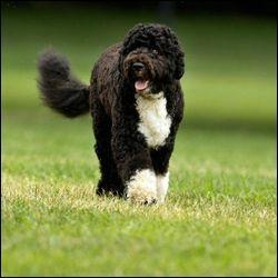 Les chiens de Barack Obama sont des...