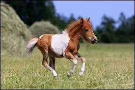 Comment appelle-t-on le petit du cheval ?