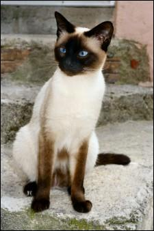 Animaux : Comment s'appelle la race de chat présentée sur la photo ?