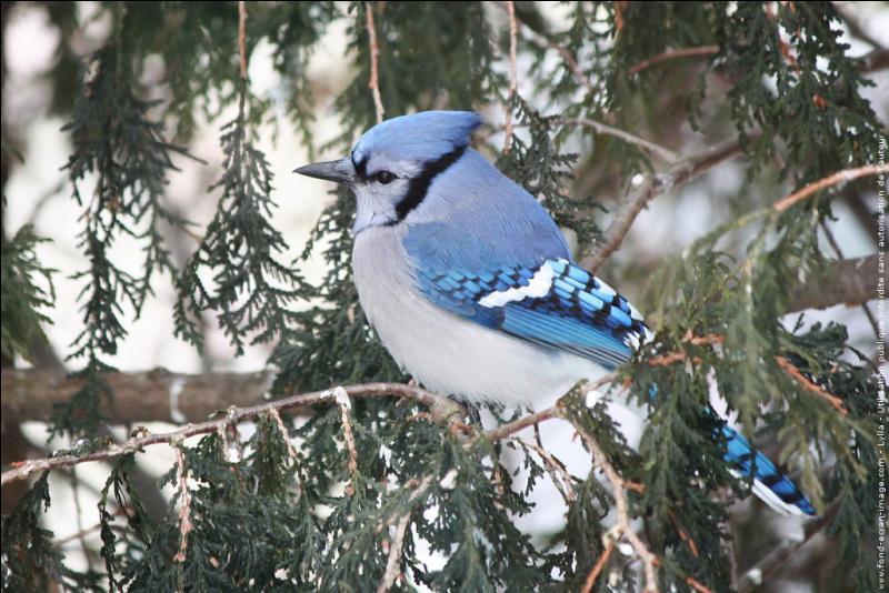 Lequel de ces oiseaux ne peut pas être bleu ?