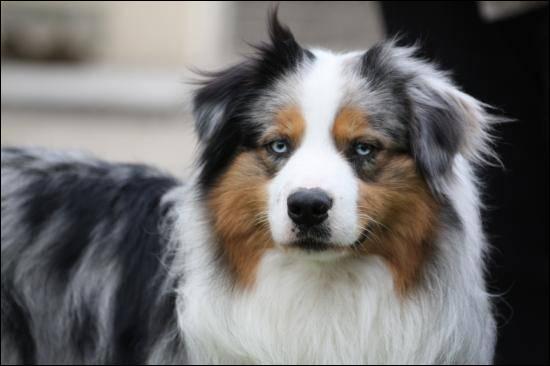 Quel est ce chien dont la robe est merle bleu ?