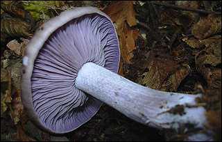 """Quel est ce champignon appelé familièrement """"Pied bleu"""", pour raccourcir un peu son nom ?"""
